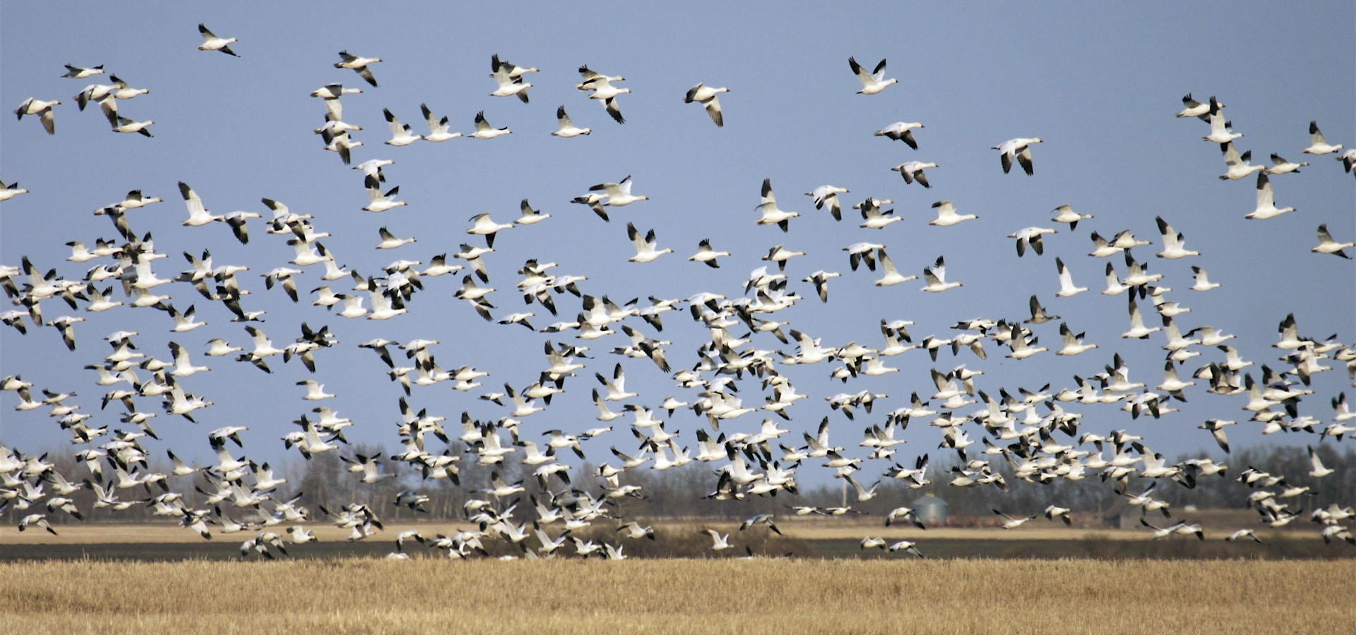 Snow Goose Hunting Canada